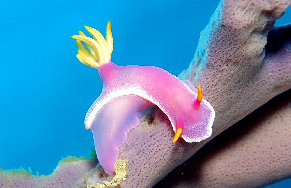 nudibranch, sea slug, two sea slugs, Hypselodoris bullockii, Malaysia, Pazifik, Pacific ocean, Borneo, Lankayan