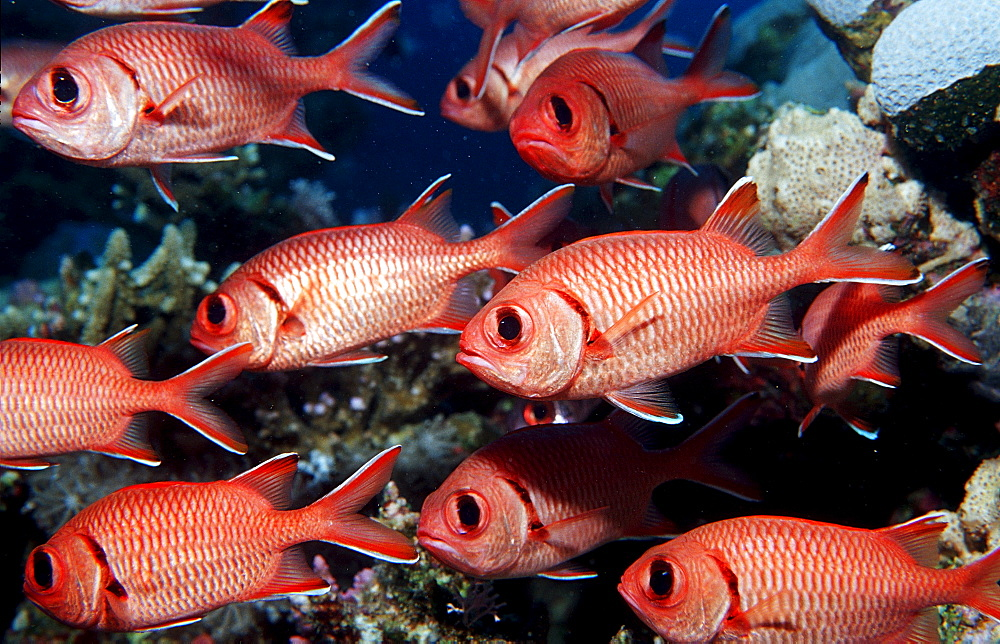 Schooling Blotcheye soldierfish, Myrpristis murdjan, Egypt, Sha´ab Shouna, Red Sea - 759-2150