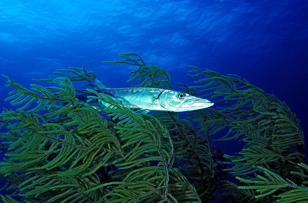 Great Barracuda, Sphyraena barracuda, Bahamas, Caribbean Sea, Grand Bahama Island