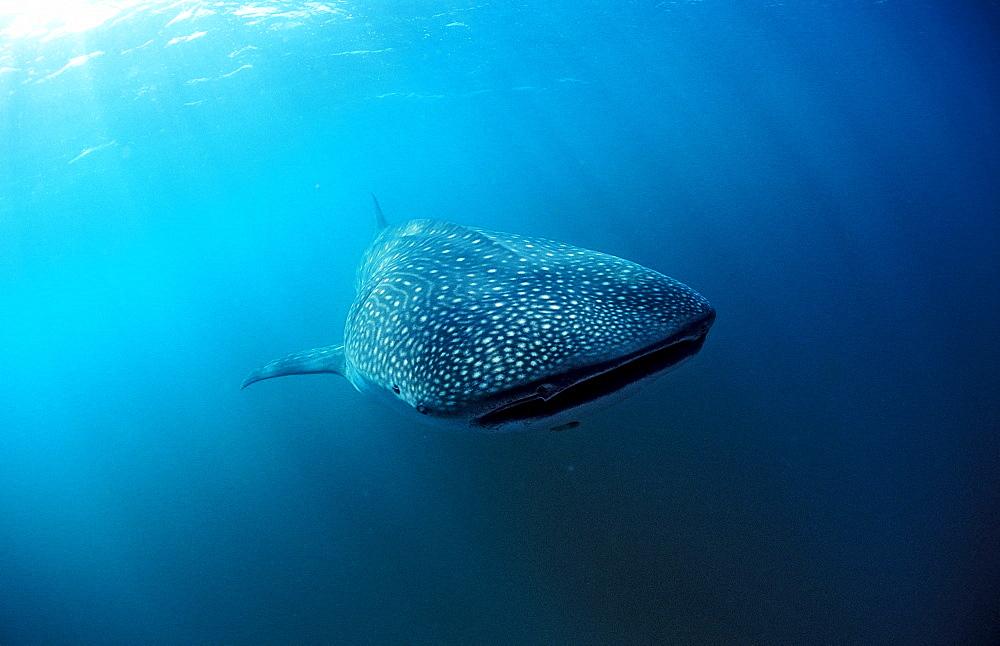 Whale shark, Rhincodon thypus, Kenya, Kenia, East Africa, Indian Ocean