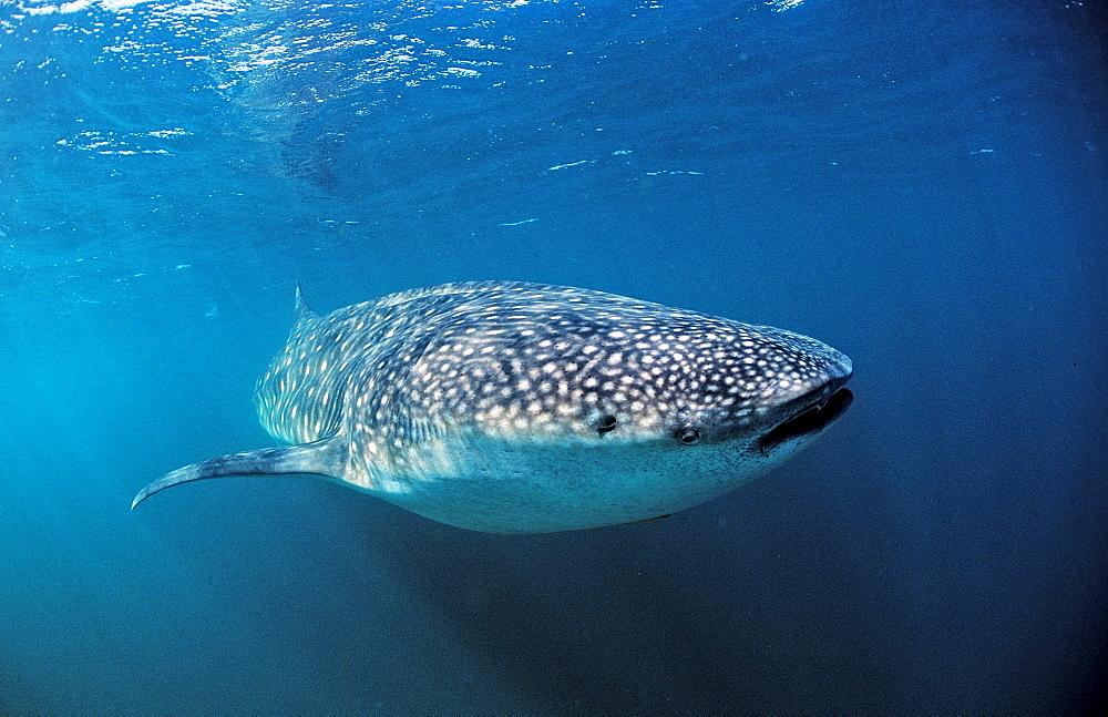 Whale shark, Rhincodon thypus, Australia, Western Australia, Ningaloo Reef, Indian Ocean