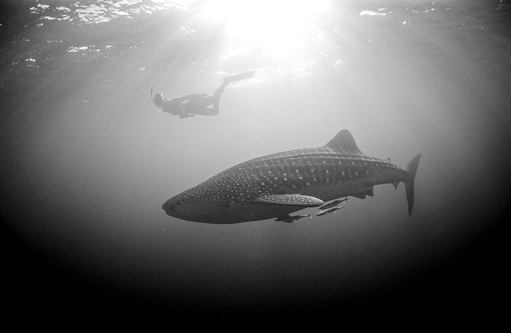 Female snorkeler swims with Whale shark, Rhincodon thypus, Australia, Western Australia, Ningaloo Reef, Indian Ocean