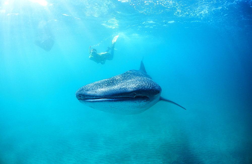 Female snorkeler swims with Whale shark, Rhincodon thypus, Seychelles, Africa, Indian Ocean