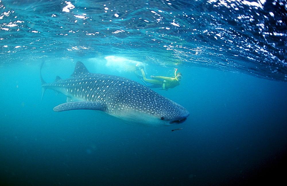 Female snorkeler swims with Whale shark, Rhincodon thypus, Thailand, Asia, Indian Ocean