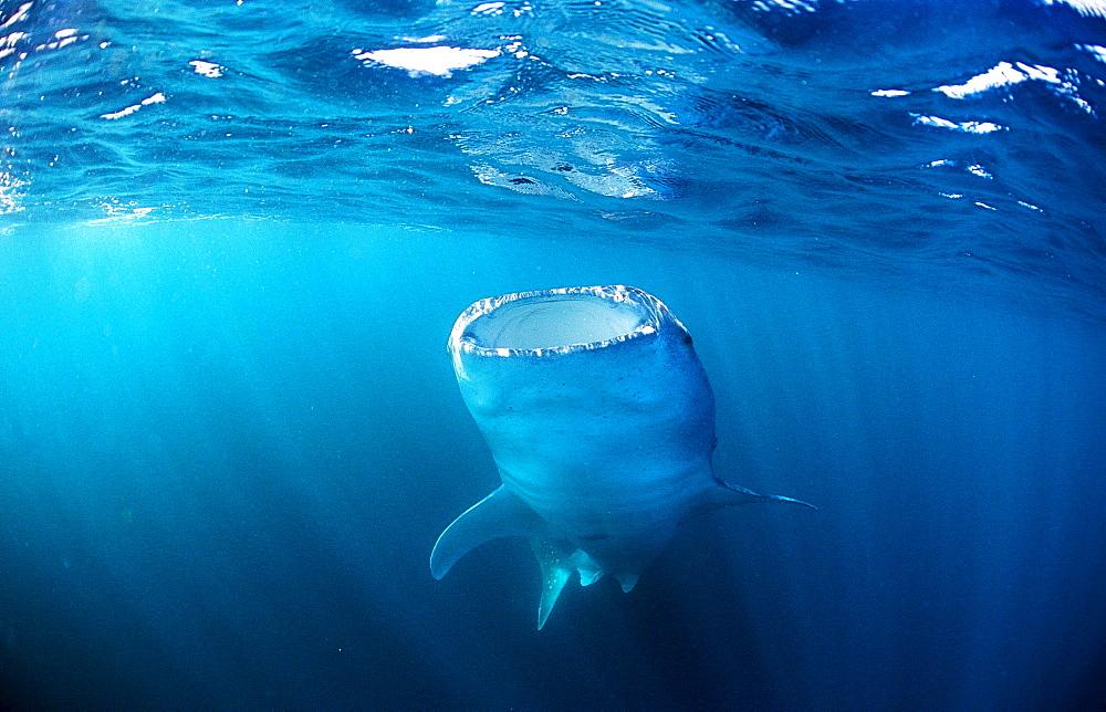 Eating Whale shark, Rhincodon thypus, Thailand, Asia, Indian Ocean