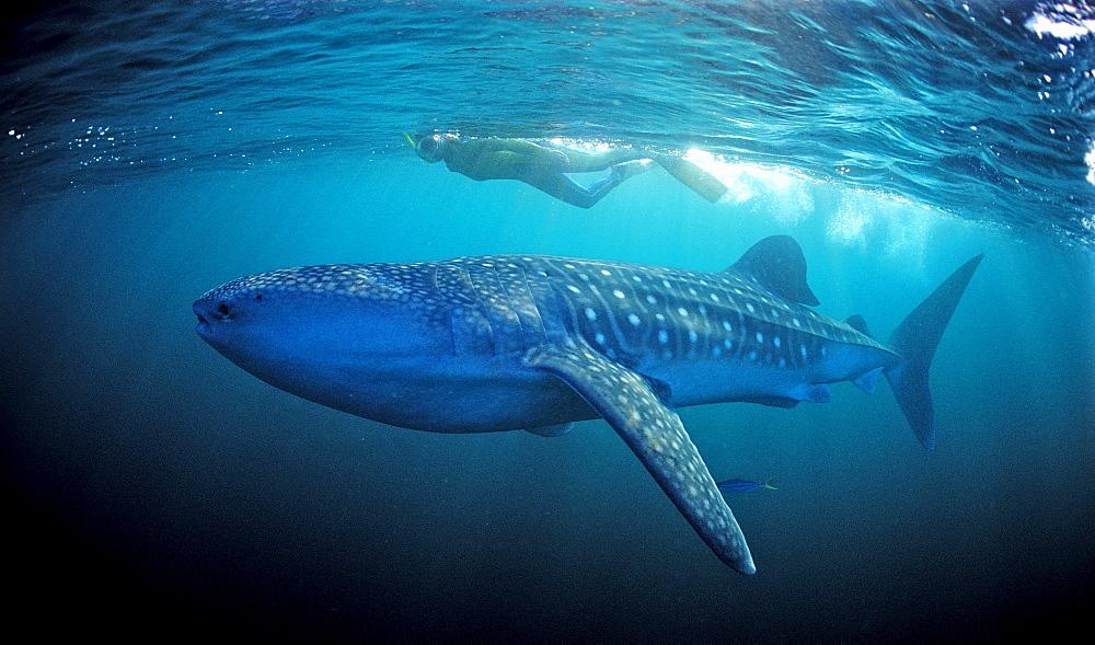 Female snorkeler swims with Whale shark, Rhincodon thypus, Madagascar, Africa, Indian Ocean