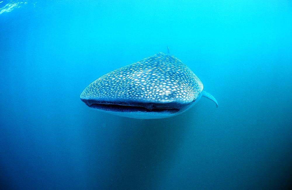 Whale shark, Rhincodon thypus, Reunion, La Réunion, France, Indian Ocean
