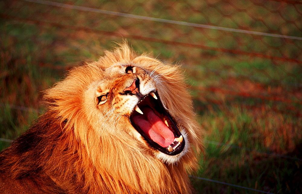 snarling lion, Panthera leo, South Africa, Schotia Game Park