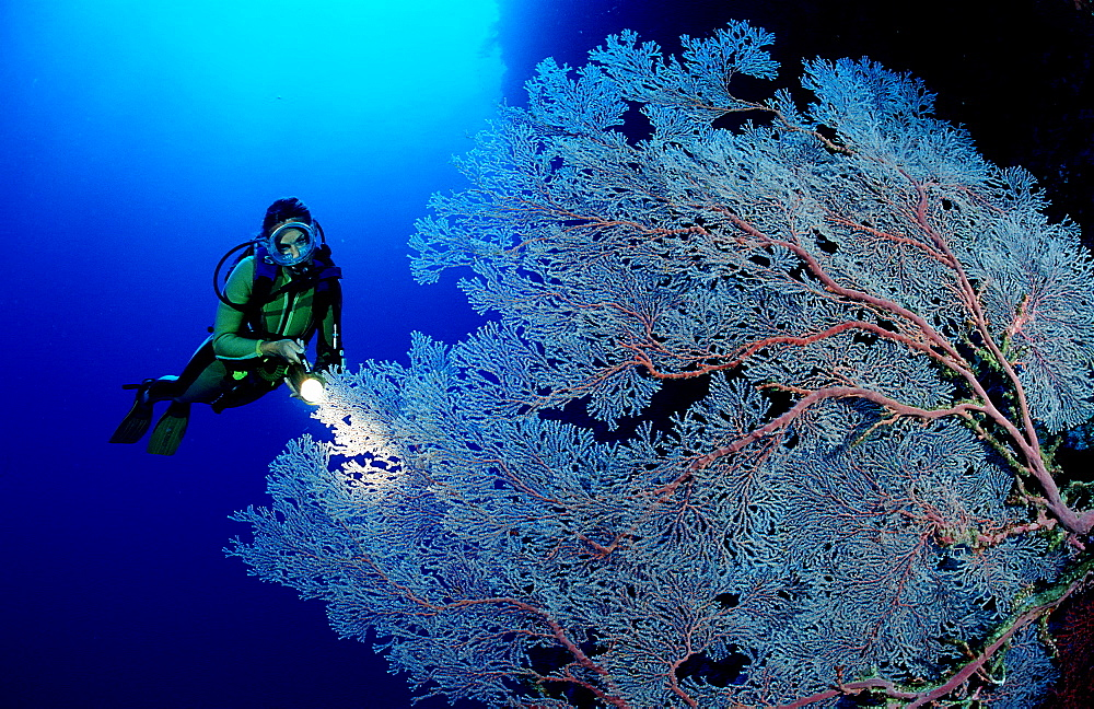 Sea fan and scuba diver, Gorgonaria, Palau, Pacific ocean