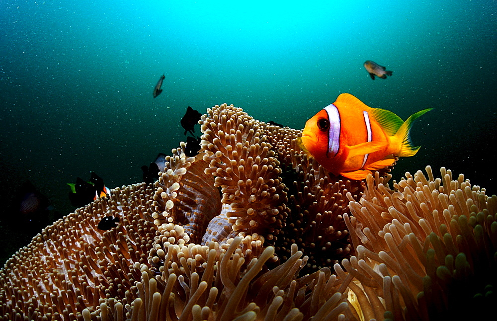 Twobar anemone fish, Amphiprion bicinctus, Djibouti, Djibuti, Africa, Afar Triangle, Gulf of Aden, Gulf of Tadjourah