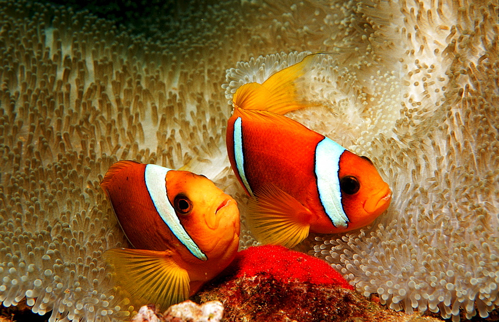 Two Twobar anemone fishes with eggs, Amphiprion bicinctus, Djibouti, Djibuti, Africa, Afar Triangle, Gulf of Aden, Gulf of Tadjourah