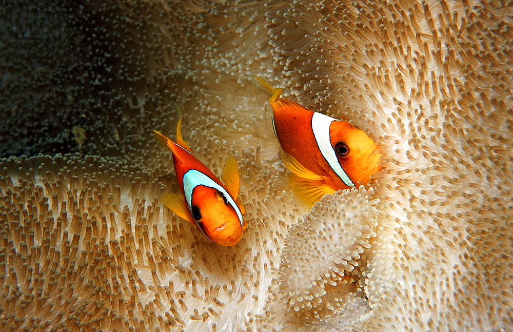 Two Twobar anemone fishes, Amphiprion bicinctus, Djibouti, Djibuti, Africa, Afar Triangle, Gulf of Aden, Gulf of Tadjourah
