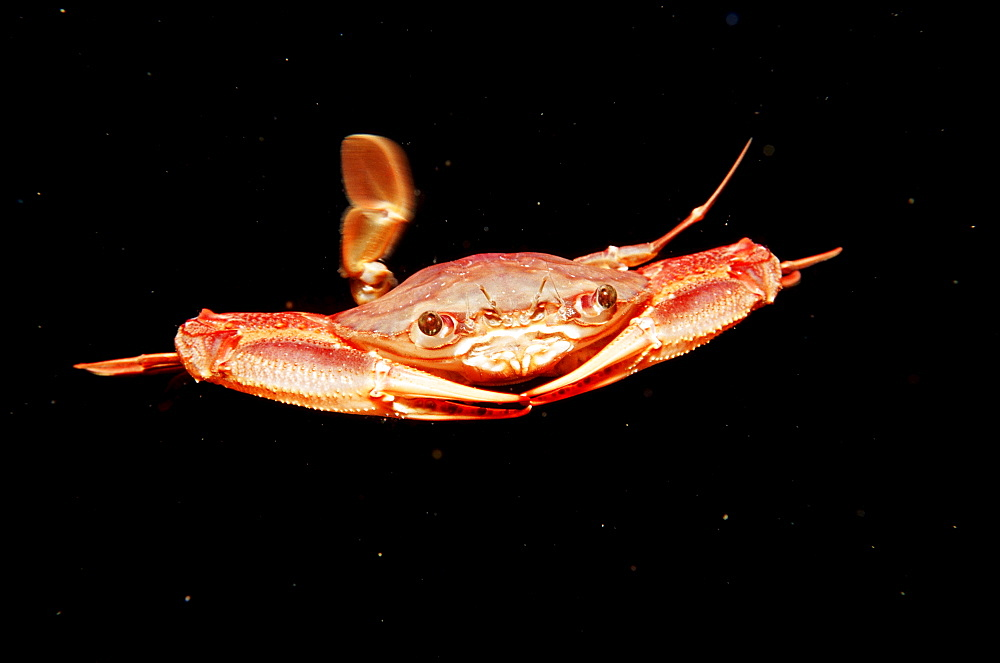 Red-legged Swimming Crab, Portunus convexus, Djibouti, Djibuti, Africa, Afar Triangle, Gulf of Aden, Gulf of Tadjourah