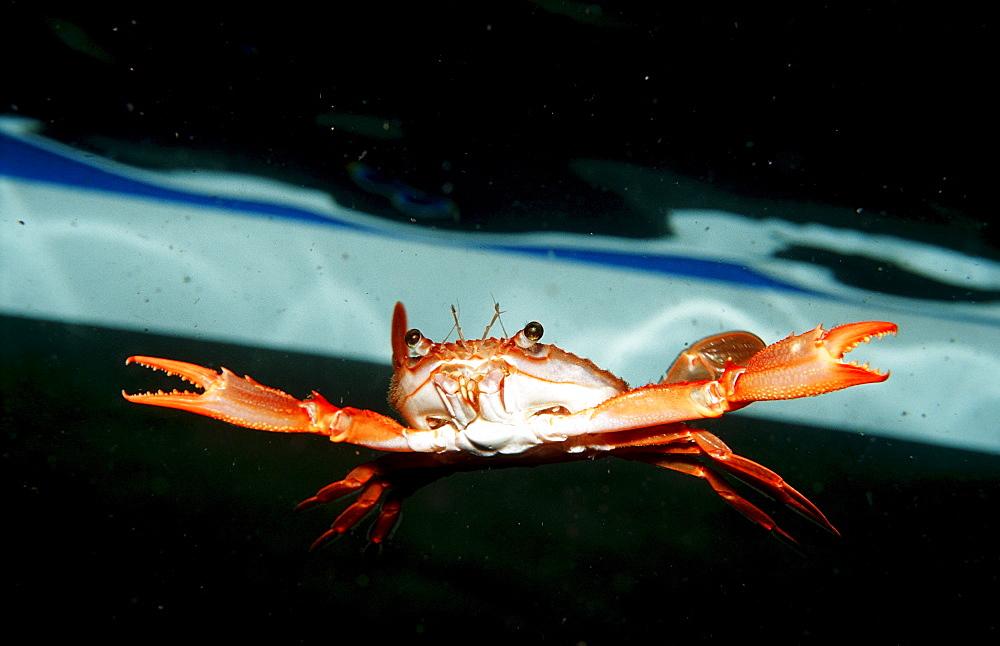 Red-legged Swimming Crab, Portunus convexus, Djibouti, Djibuti, Africa, Afar Triangle, Gulf of Aden, Gulf of Tadjourah