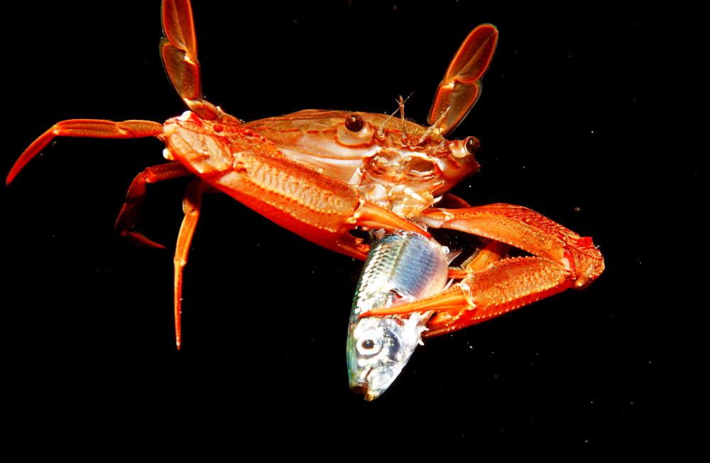 Red-legged Swimming Crab eating fish, Portunus convexus, Djibouti, Djibuti, Africa, Afar Triangle, Gulf of Aden, Gulf of Tadjourah