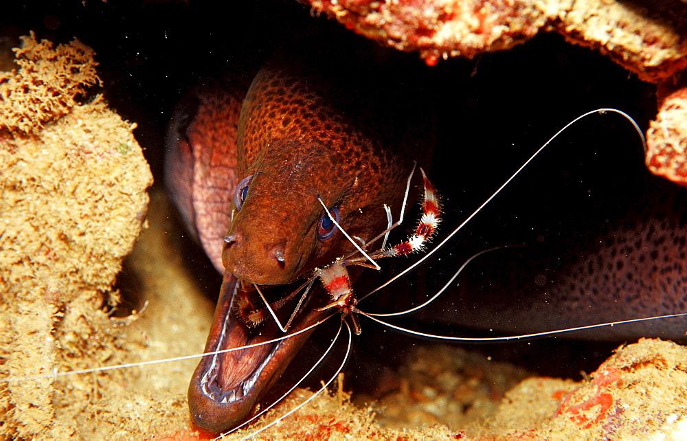 Cleaner shrimp cleaning Yellow-margined moray, Stenopus hispidus, Gymnothorax flavimarginatus, Djibouti, Djibuti, Africa, Afar Triangle, Gulf of Aden, Gulf of Tadjourah