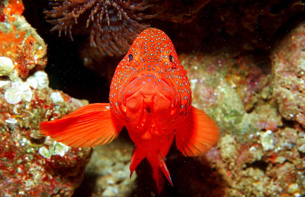 Coral grouper, Cephalopholis miniata, Djibouti, Djibuti, Africa, Afar Triangle, Gulf of Aden, Gulf of Tadjourah