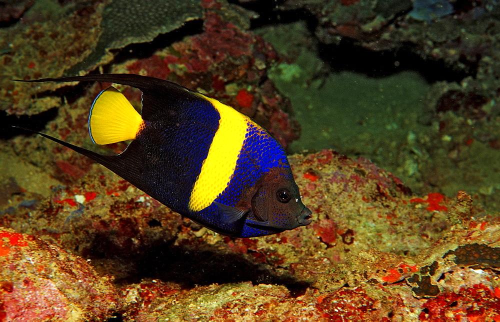 Asfur angelfish, Pomacanthus asfur, Djibouti, Djibuti, Africa, Afar Triangle, Gulf of Aden, Gulf of Tadjourah