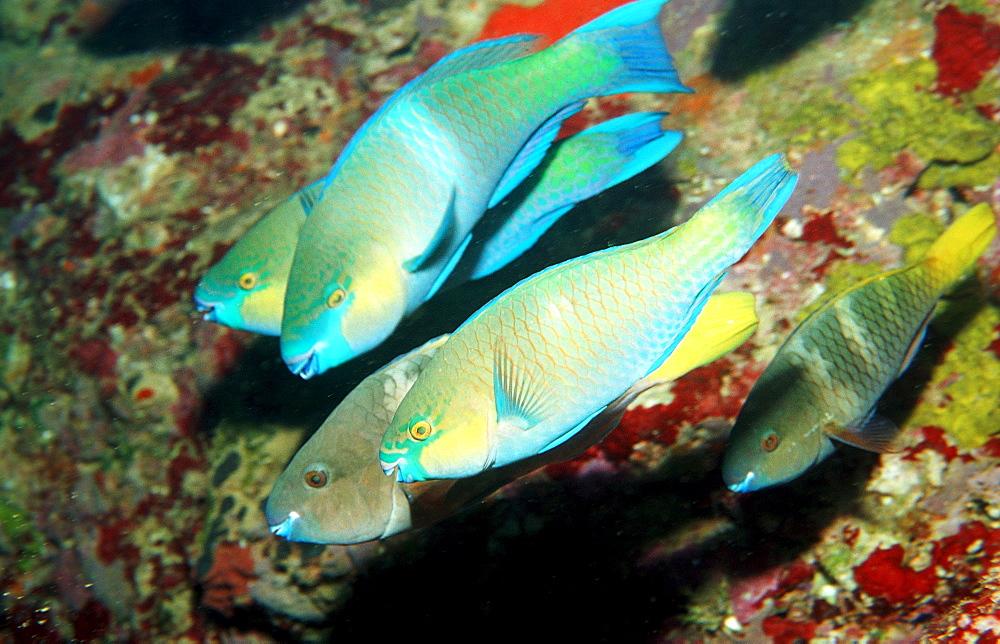 Mating Greentroat parrotfishes, Scarus prasiognathos, Djibouti, Djibuti, Africa, Afar Triangle, Gulf of Aden, Gulf of Tadjourah