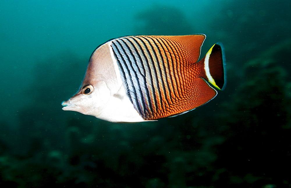 White-face butterflyfish    , Chaetodon mesoleucos, Djibouti, Djibuti, Africa, Afar Triangle, Gulf of Aden, Gulf of Tadjourah