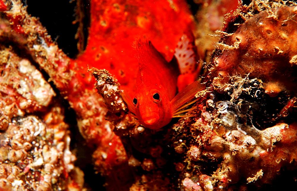 Dwarf hawkfish, Cirrhitichthys falco, Djibouti, Djibuti, Africa, Afar Triangle, Gulf of Aden, Gulf of Tadjourah