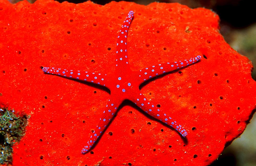 Red Starfish, Asteroidea, Djibouti, Djibuti, Africa, Afar Triangle, Gulf of Aden, Gulf of Tadjourah