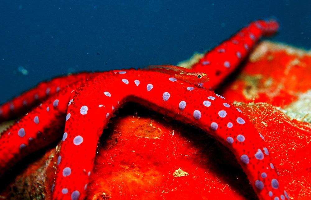 Common ghost goby on Red starfish, Pleurosicya mossambica, Djibouti, Djibuti, Africa, Afar Triangle, Gulf of Aden, Gulf of Tadjourah