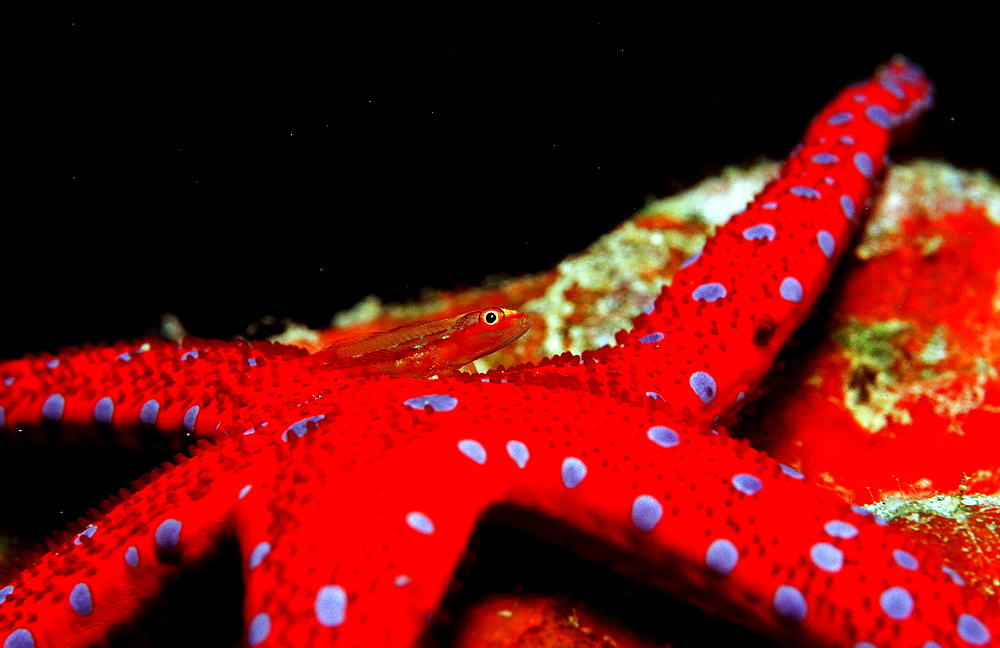 Common ghost goby on Red starfish, Pleurosicya mossambica, Djibouti, Djibuti, Africa, Afar Triangle, Gulf of Aden, Gulf of Tadjourah