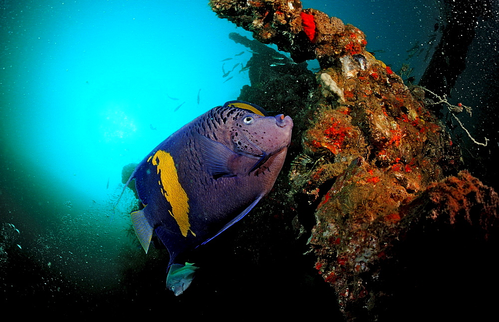 Yellowbar Angelfish and ship wreck, Pomacanthus maculosus, Djibouti, Djibuti, Africa, Afar Triangle, Gulf of Aden, Gulf of Tadjourah