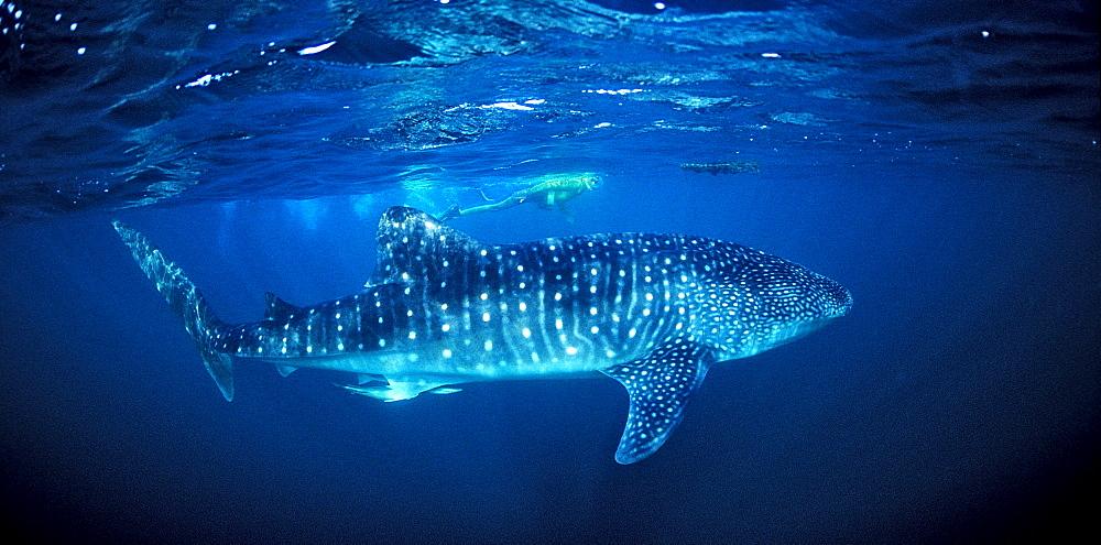Whale shark, Rhincodon thypus, Djibouti, Djibuti, Africa, Afar Triangle, Gulf of Aden, Gulf of Tadjourah