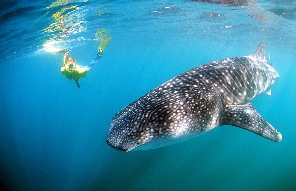 Female snorkeler swims with Whale shark, Rhincodon thypus, Djibouti, Djibuti, Africa, Afar Triangle, Gulf of Aden, Gulf of Tadjourah