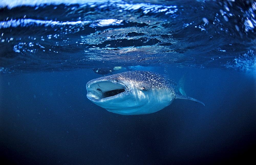 Eating Whale shark, Rhincodon thypus, Djibouti, Djibuti, Africa, Afar Triangle, Gulf of Aden, Gulf of Tadjourah