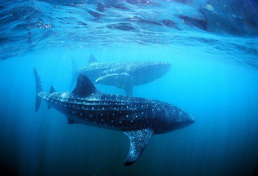Two Whale sharks, Rhincodon thypus, Djibouti, Djibuti, Africa, Afar Triangle, Gulf of Aden, Gulf of Tadjourah
