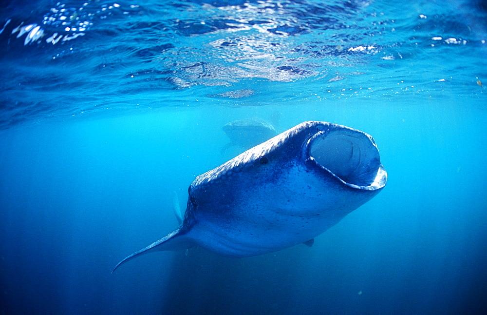 Two eating Whale sharks, Rhincodon thypus, Djibouti, Djibuti, Africa, Afar Triangle, Gulf of Aden, Gulf of Tadjourah