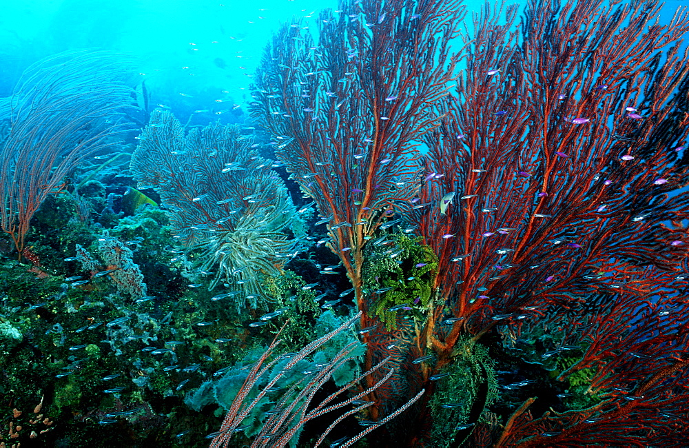 Coral Reef with Gorgonian Fan, Gorgonacea, Papua New Guinea, Pacific ocean