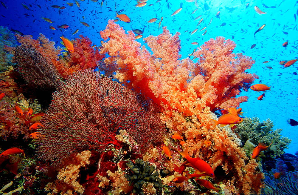 Coral Reef with Hard Corals and Soft Corals, Gorgonacea, Papua New Guinea, Pacific ocean