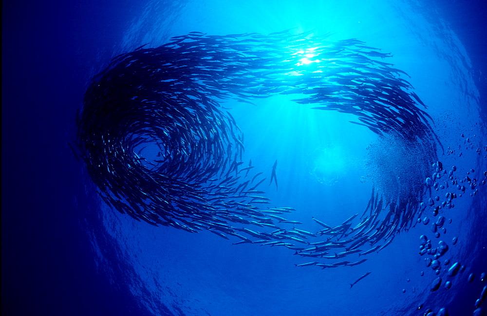 School of Blackfin barracuda, Sphyraena qenie, Papua New Guinea, Pacific ocean