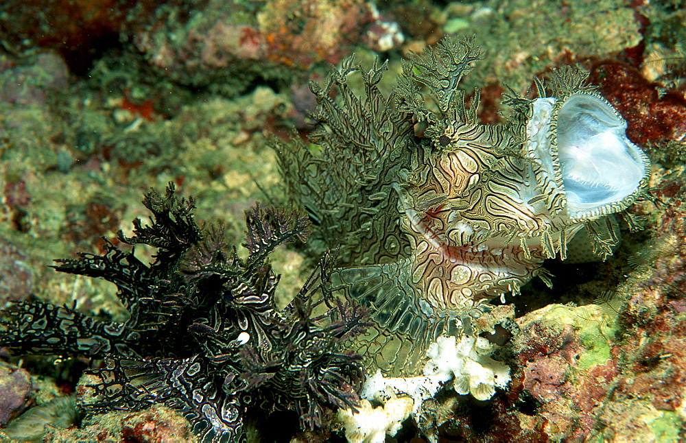 Yawning Merlet´s scorpionfish, Rhinopias aphanes, Australia, Pacific Ocean, Great Barrier Reef