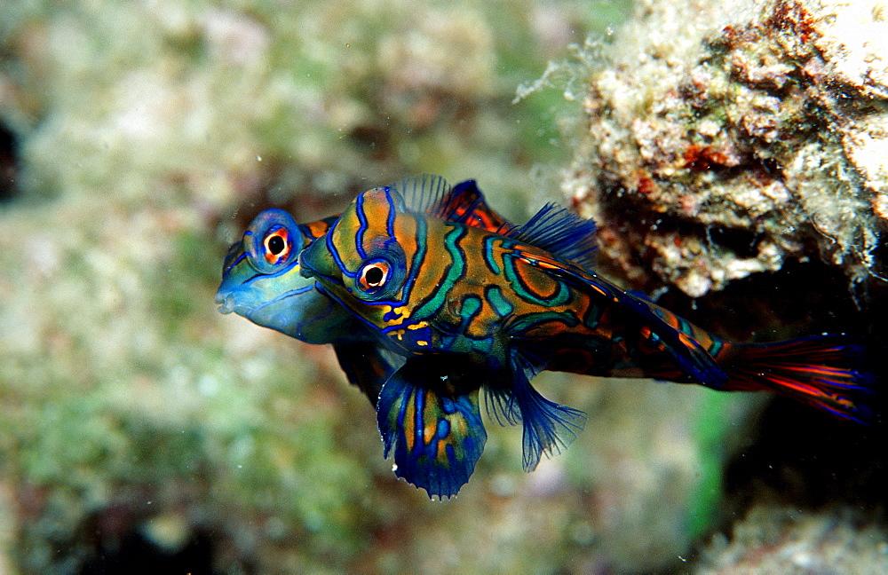 Mandarinfish, Synchiropus splendidus, Malaysia, Pazifik, Pacific ocean, Borneo, Mabul