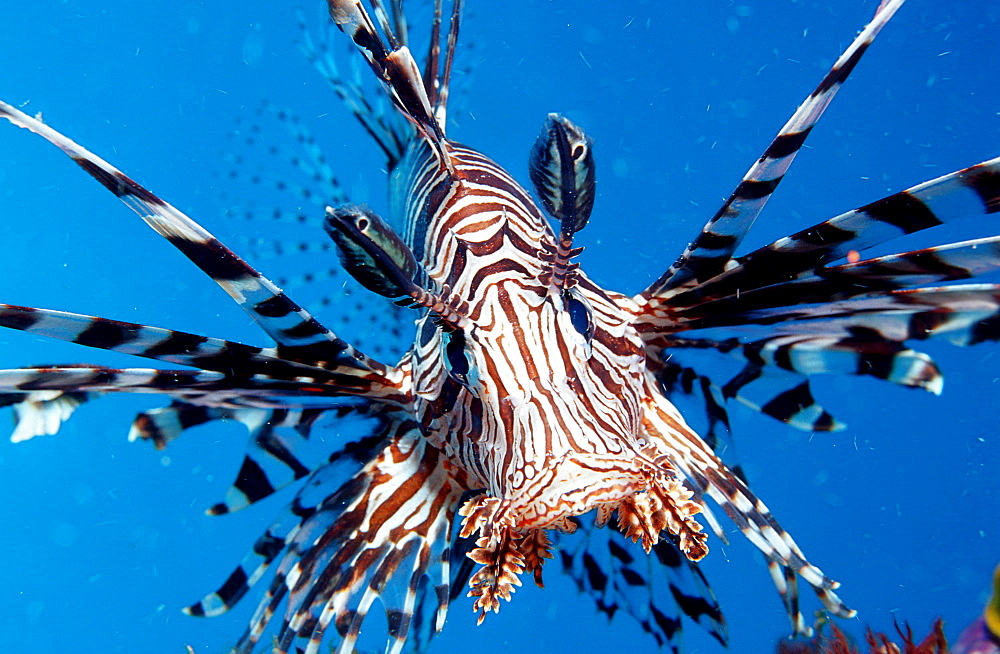 lionfish, turkeyfish, Pterois volitans, Indonesia, Indian Ocean, Komodo National Park