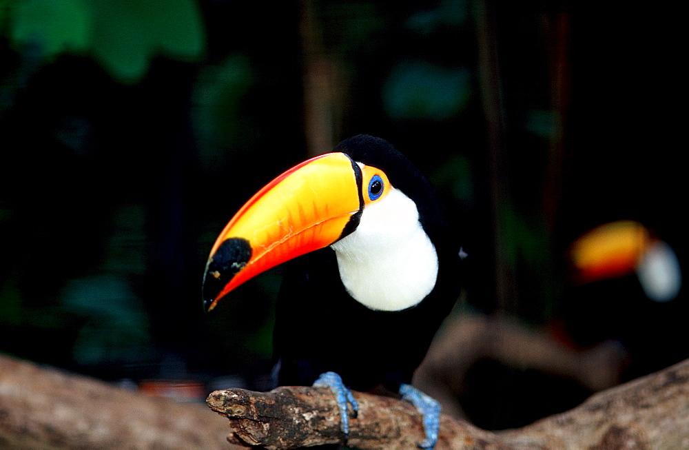 Toco Toucan, Ramphastos Toco, Brasilia, Amazone rainforest