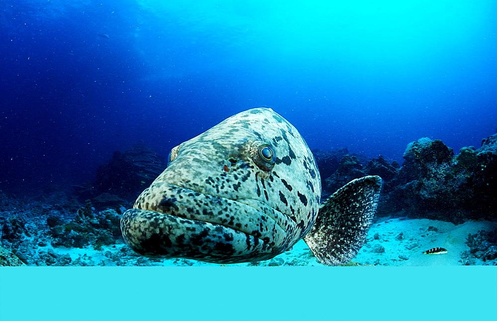 Potato grouper, Epinephelus tukula, Burma, Myanmar, Birma, Indian ocean, Andaman sea