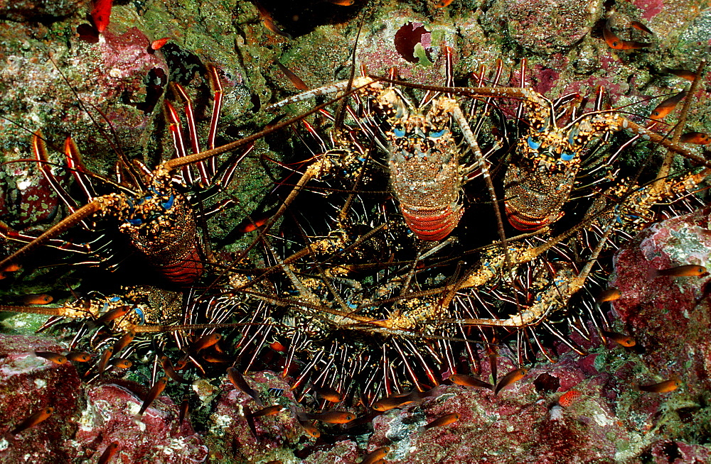 lobster, cave with lobster, Panulirus regius, Costa Rica, Pacific Ocean, Cocos Island, Latin america