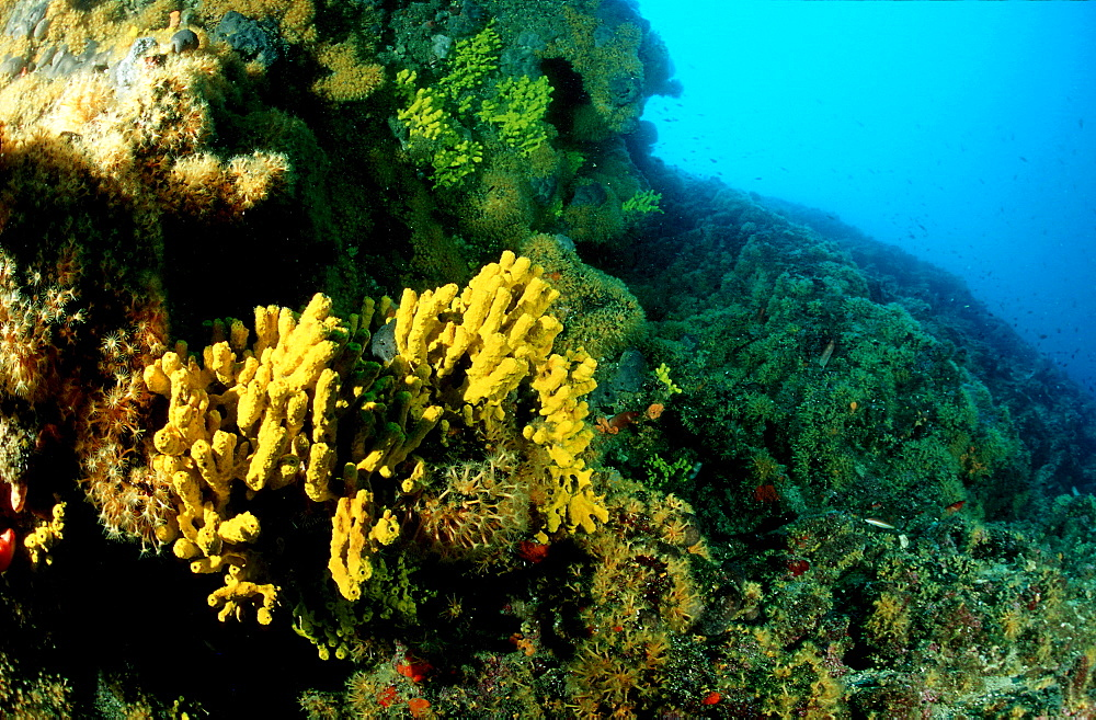 Reef with gold sponge, Verongia aerophoba, Croatia, Istria, Mediterranean Sea