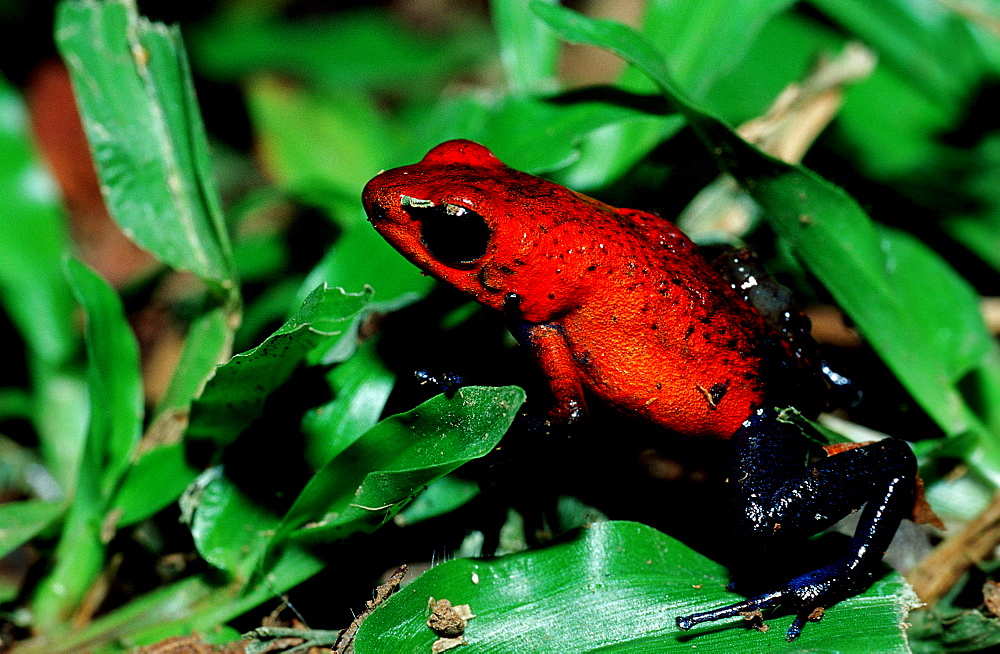 tiny strawberry poison frog, Dendrobates pumilio, Costa Rica, Cocos Island, South america, Latin america