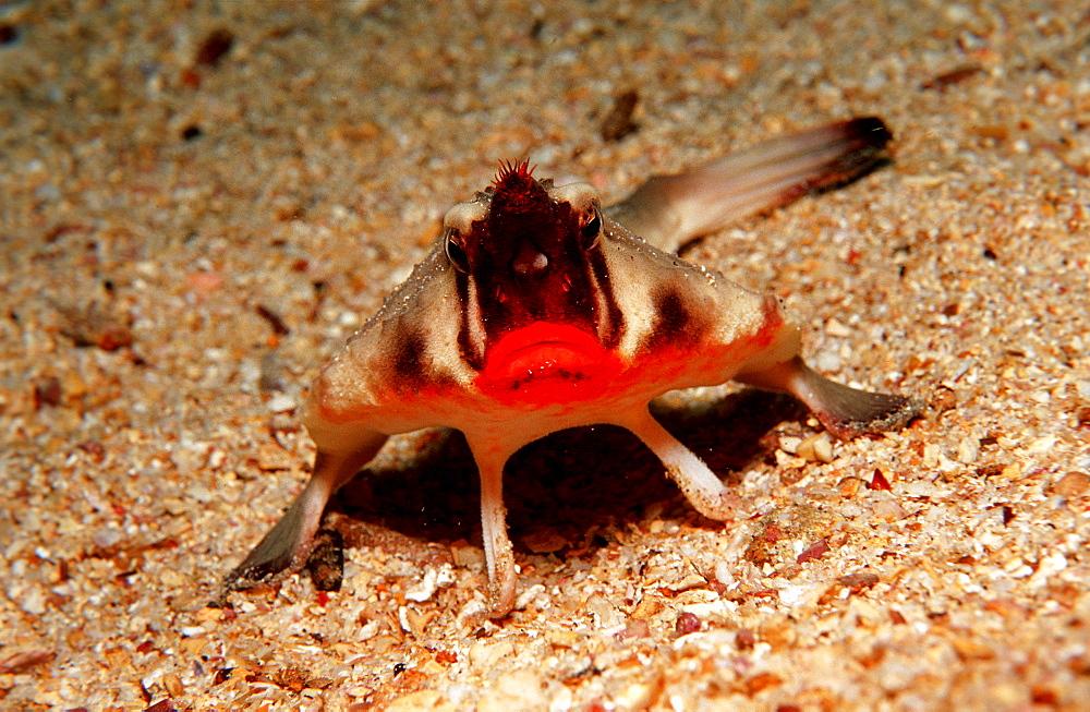 RED LIPPED BATFISH, OGCOCEPHALUS DARWINI, Ecuador, South America, Galápagos, Galapagos, Island, Pacific Ocean