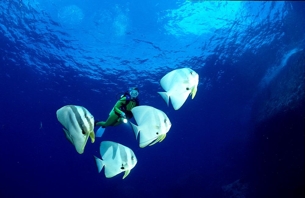 Pinnate batfish and scuba diver, Platax pinnatus, Malaysia, Indischer Ozean, Indian ocean, Südchinesisches Meer, South chinese sea, Tioman
