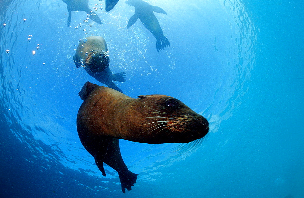 FUR SEA LION, ARCTOCEPHALUS GALAPAGOENSIS, Ecuador, South America, Galápagos, Galapagos, Island, Pacific Ocean