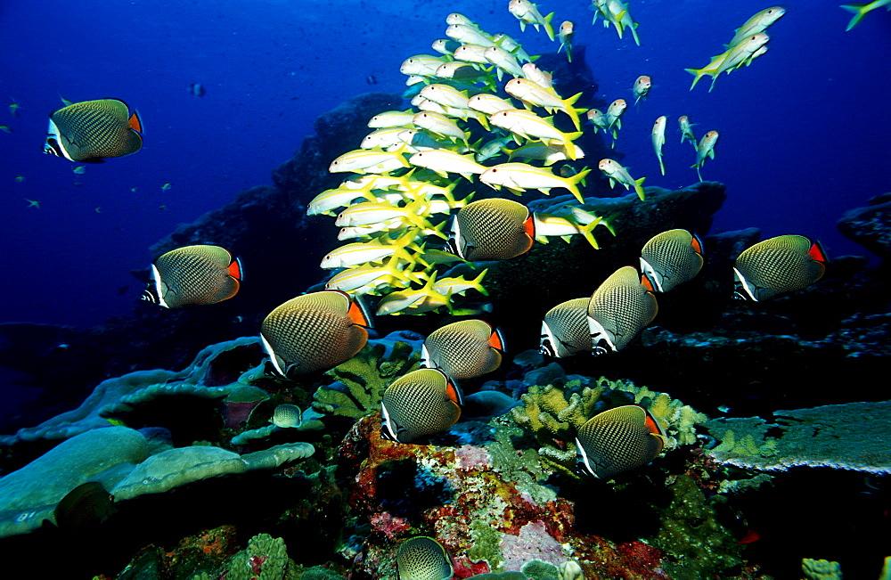 butterflyfish, Chaetodon collare, Burma, Myanmar, Birma, Indian ocean, Andaman sea