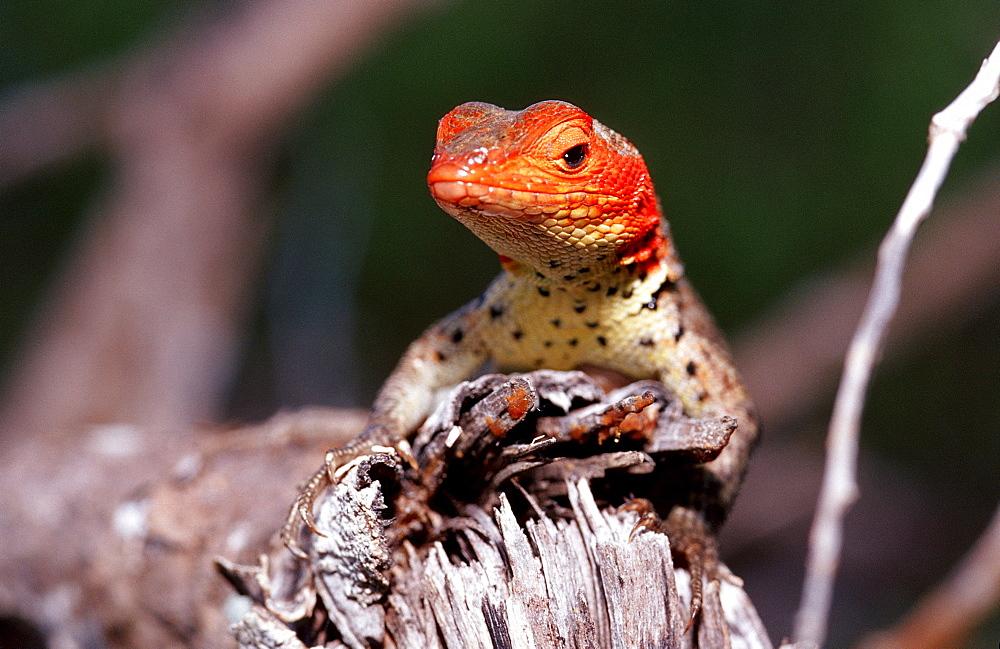 Galapagos lava lizard, Microcolophus spp., Ecuador, South America, Galápagos, Galapagos, Island, Pacific Ocean